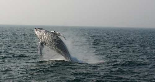 """Caccia alle baleniere giapponesi con l'operazione """"Tolleranza Zero"""""""