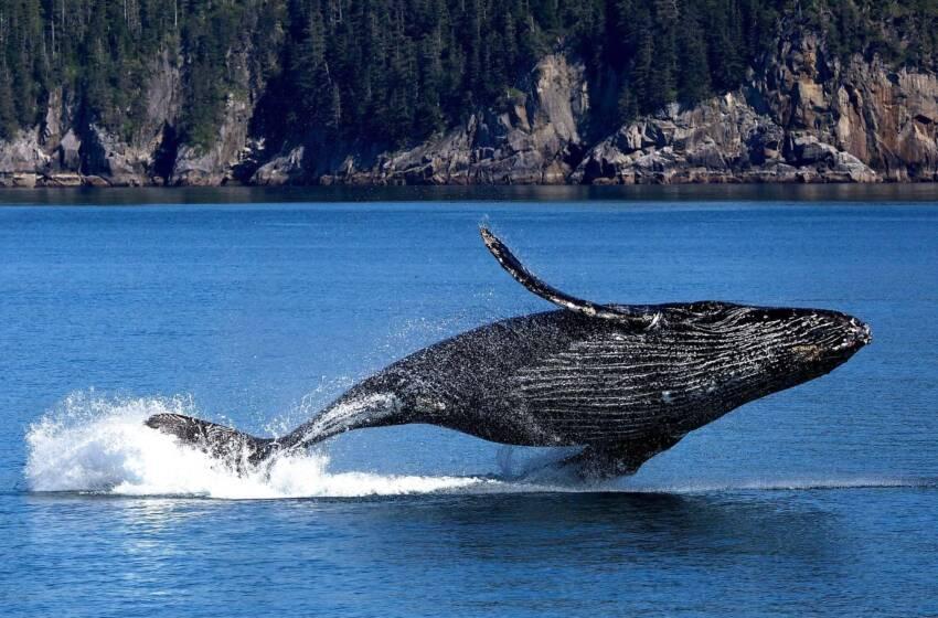 """Sea Shepherd caccia alle baleniere giapponesi con l'operazione """"Tolleranza Zero"""""""