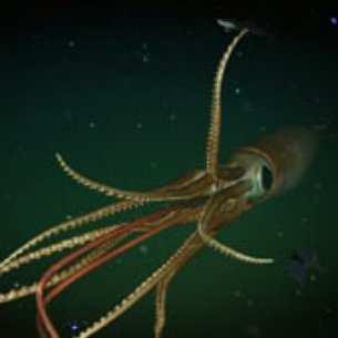 Scoperto nelle profondità del mare un calamaro gigante