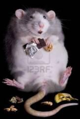8091436 un ratto grasso denominato drucilla e mangiare dolci e biscotti 162x242 - SCOPERTO UN BATTERIO CHE FA DIMAGRIRE