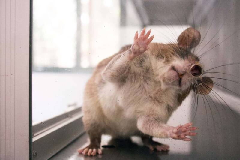 topo per studi sul dimagrimento 800x533 - Cos'è la musofobia: cause, sintomi e terapia della paura dei topi