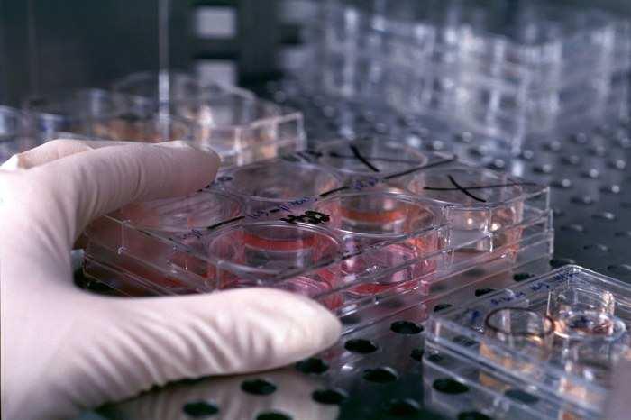 coltura cellule staminali laboratorio1 - Sviluppato fegato con cellule staminali pluripotenti
