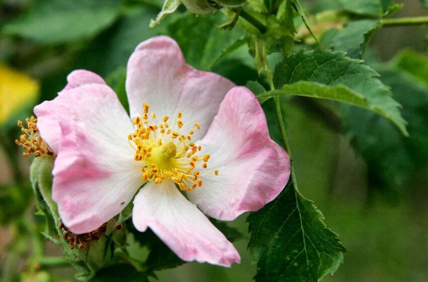 Rimedi naturali con la rosa canina