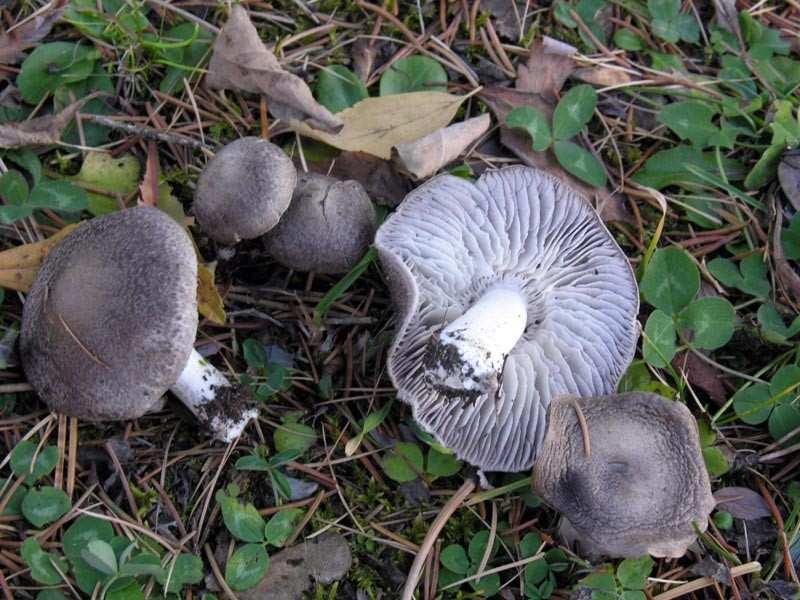 funghi di pineta 3 - Funghi di pineta: quali sono e quando trovarli