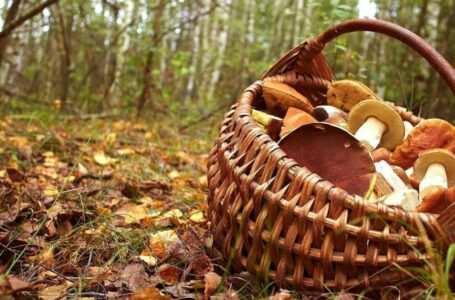 periodo di raccolta dei funghi