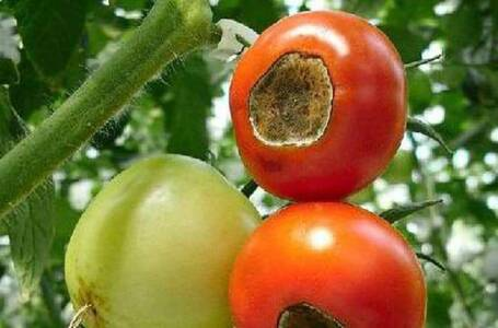 Peronospora del pomodoro