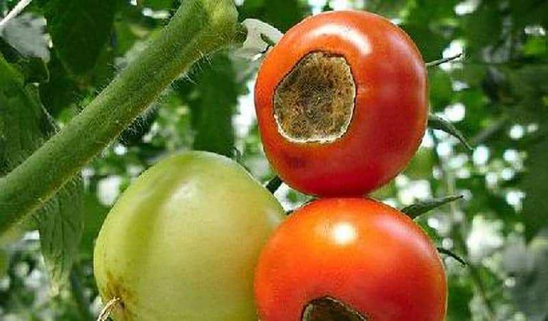 Peronospora del pomodoro: riconoscerla e curarla- Rimedi naturali