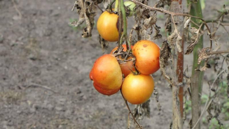 peronospora pomodoro 1 800x450 - Peronospora del pomodoro: riconoscerla e curarla- Rimedi naturali