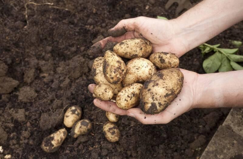 Coltivazione delle patate 800x524 - Patate al forno la ricette gustosa, scenografica e ricca