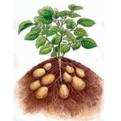 Patata 01 242x242 - Coltivazione delle patate, guida del contadino