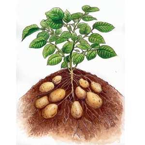 Piccola guida alla coltivazione delle patate