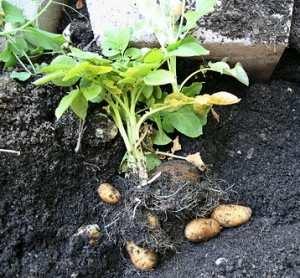 coltivare patate 3 - Piccola guida alla coltivazione delle patate