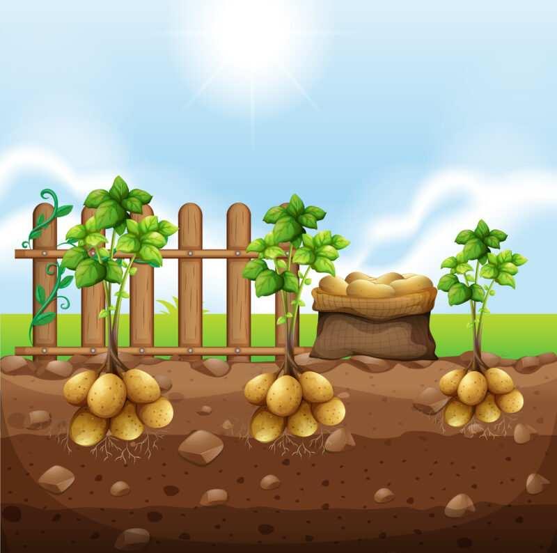 iz1p 9bxp 180626 800x794 - Coltivazione delle patate, guida del contadino