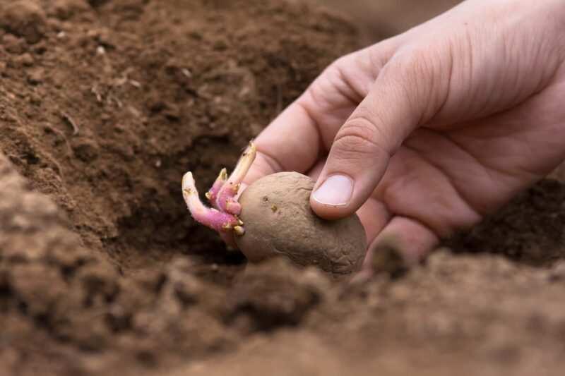 piantare patate 1 800x533 - Coltivazione delle patate, guida del contadino