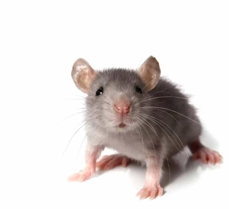 Come allontanare i topi in modo naturale 800x731 - Cos'è la musofobia: cause, sintomi e terapia della paura dei topi
