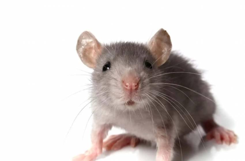 Come allontanare i topi in modo naturale