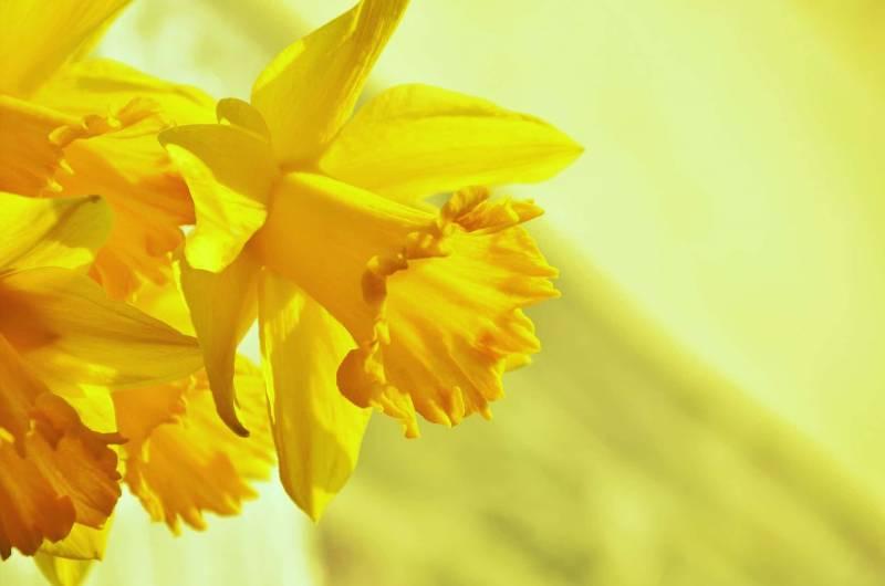 narciso fiore 800x530 - Fiore del narciso: tutte le curiosità e i consigli per coltivarlo