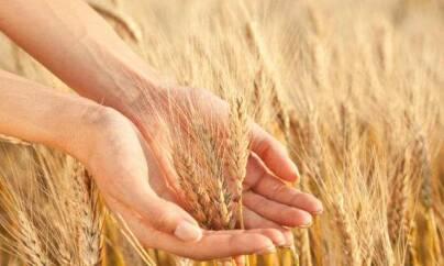 grano 404x242 - Perchè il glutine fa male