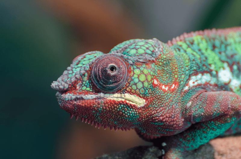 camaleonte 800x529 - 10 incredibili curiosità sugli animali che (probabilmente) non conoscete