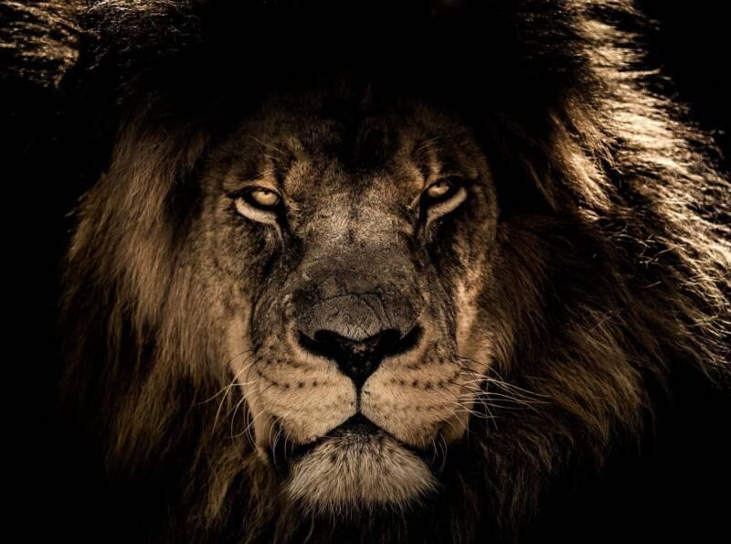 leone 800x595 - 10 incredibili curiosità sugli animali che (probabilmente) non conoscete