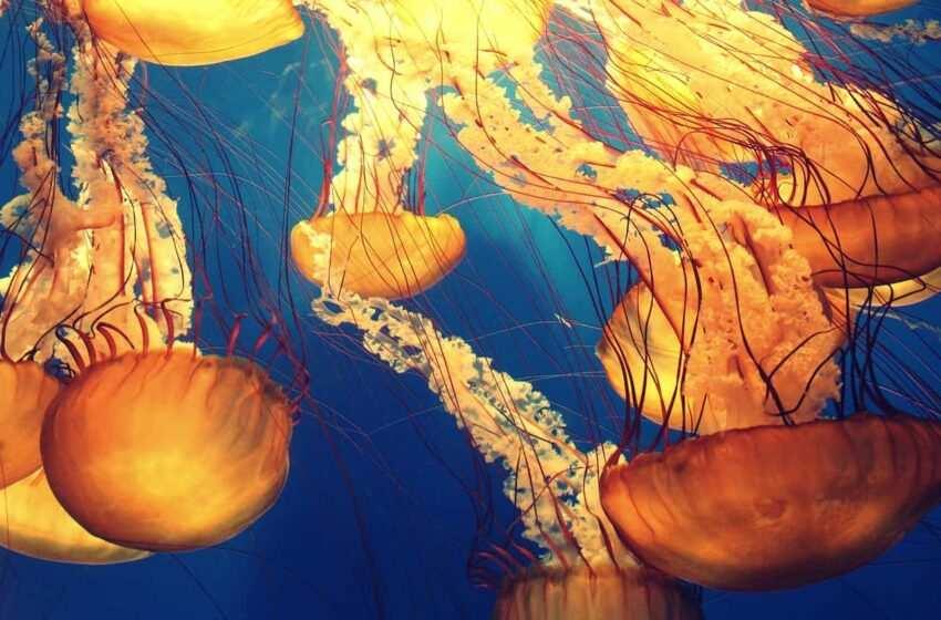 L'essere immortale: non è l'uomo, ma una medusa