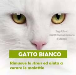 gatto bianco 244x242 - I colori dei gatti, il loro carattere e cosa dicono su di te