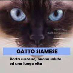 gatto siamese 242x242 - I colori dei gatti, il loro carattere e cosa dicono su di te