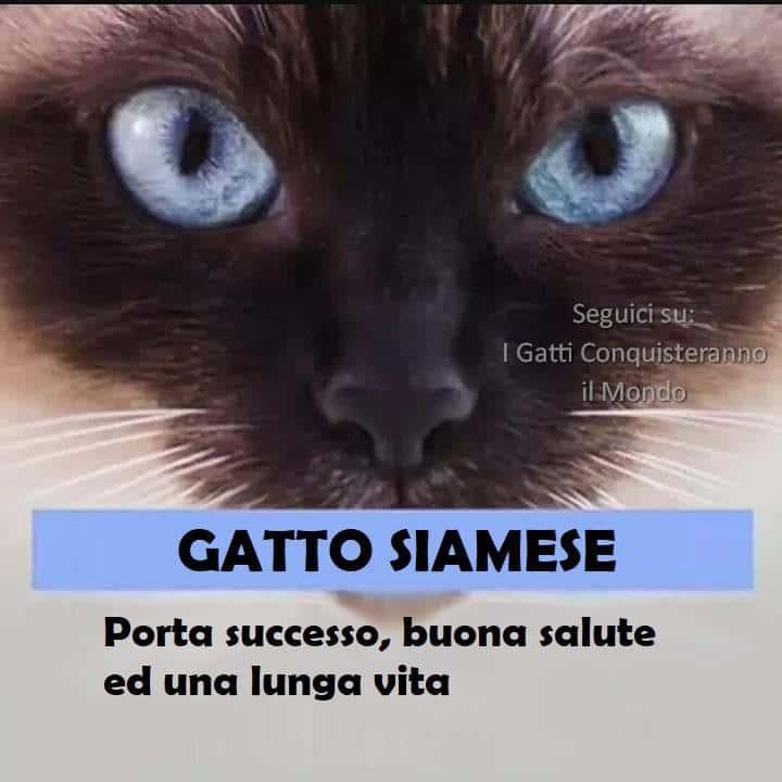 gatto siamese - I colori dei gatti, il loro carattere e cosa dicono su di te