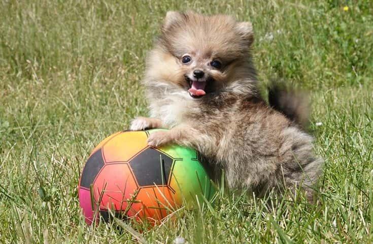 Pomerania 1 - Pomerania: un cane con carattere e personalità