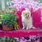 Pomerania cane di razza intelligente
