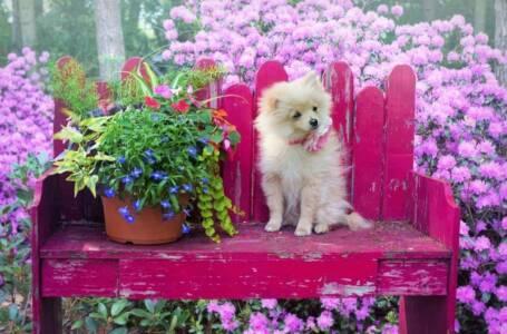 Pomerania: un cane con carattere e personalità