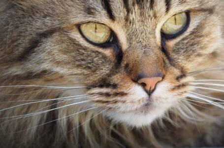 Muso di Gattone Nomi giapponesi per gatti