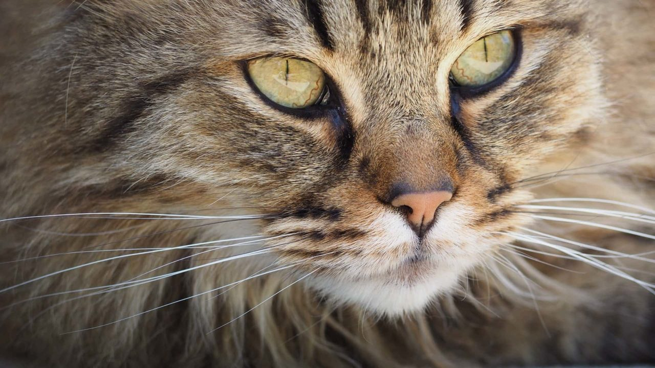 Nomi giapponesi per gatti maschi e femmine