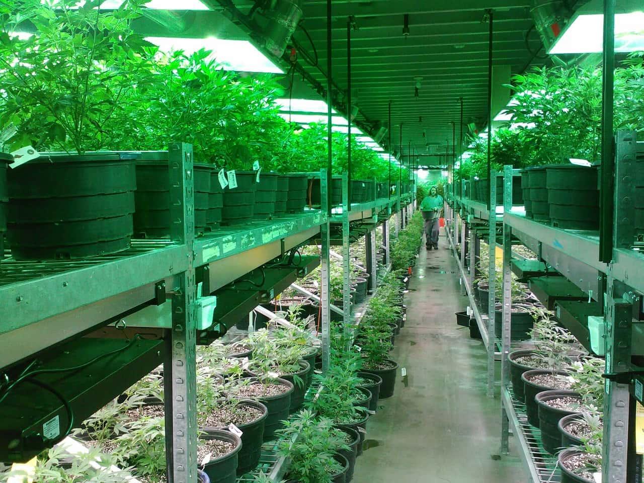 Cannabis coltivazione legale - Cannabis light: ecco perché deve essere legalizzata
