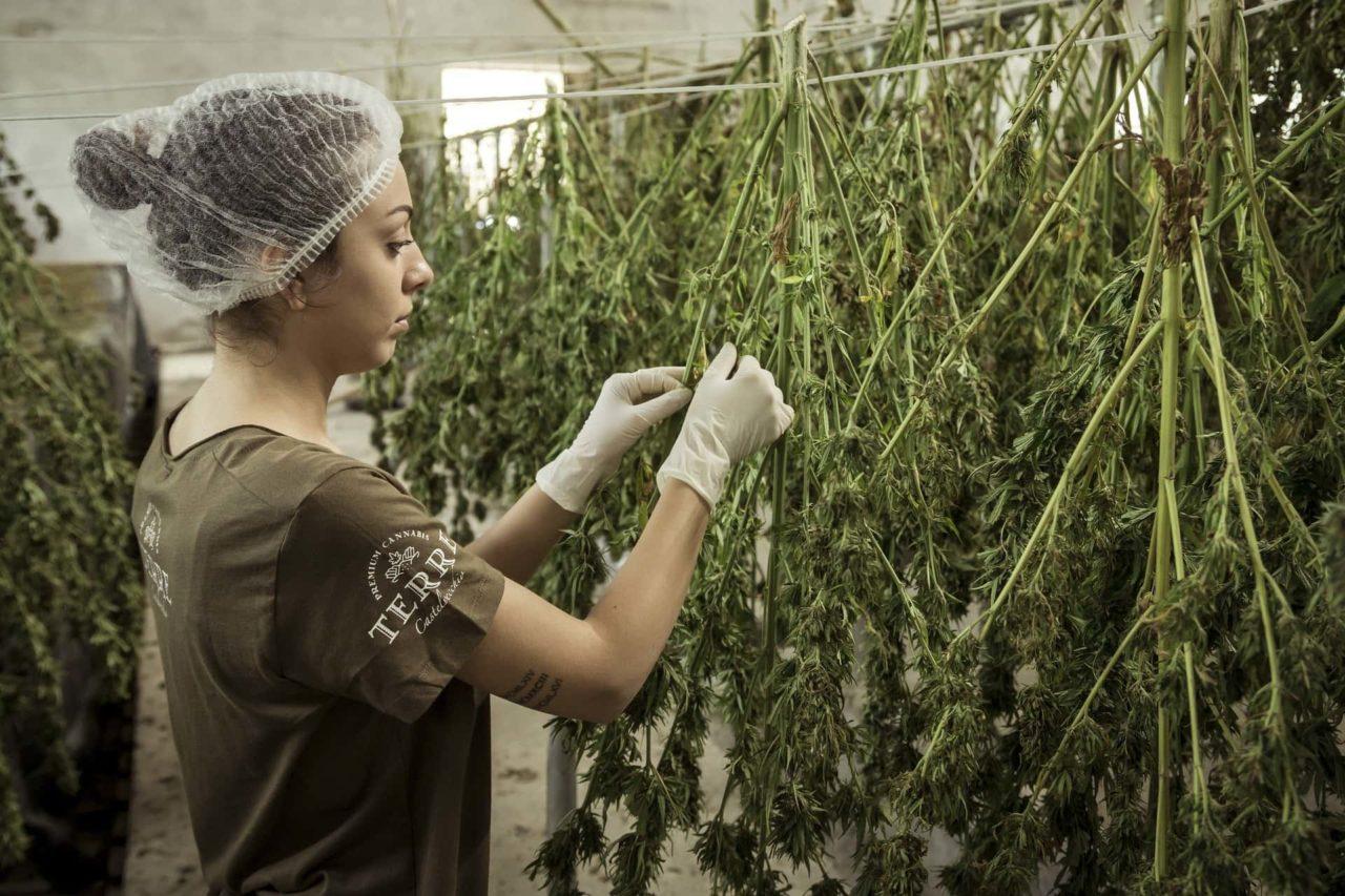 Cannabis light coltivazione legale scaled - Cannabis light: ecco perché deve essere legalizzata