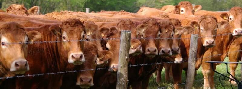 allevamento mucche bistecche di carne inquinano 800x294 - Bistecche di carne: come e perché inquinano più della plastica