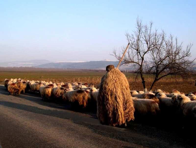 pastore sardo ricotta 800x605 - Come fare la ricotta in casa, storia e curiosità- Guida e rimedi naturali