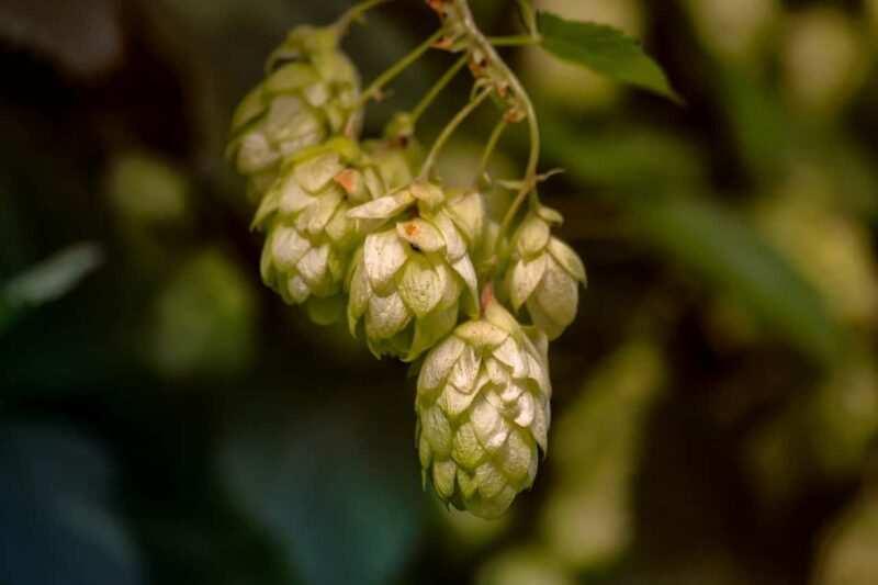 pianta del luppolo 800x533 - Come fare la birra in casa, storia e curiosità