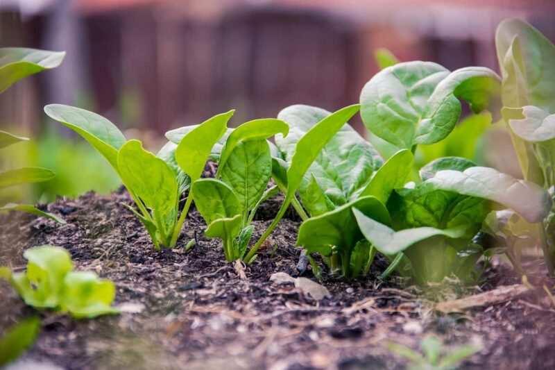 spinaci 800x533 - Creare un piccolo Orto in un terrazzo e quali ortaggi coltivare in quarantena Covid-19