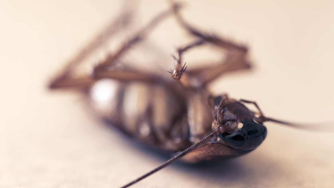 Piccoli Scarafaggi In Cucina scarafaggi o blatte in casa? come eliminarle fai da te