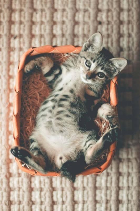 gattino sdraiato 533x800 - Nomi per gatti rari, particolari, russi e coppie