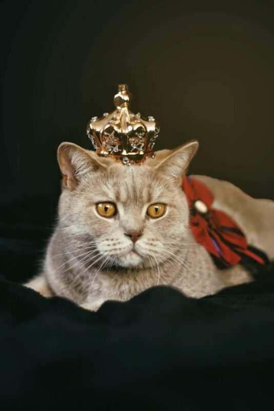 gatto grigio re scaled 534x800 - Nomi per gatti in tedesco e in francese
