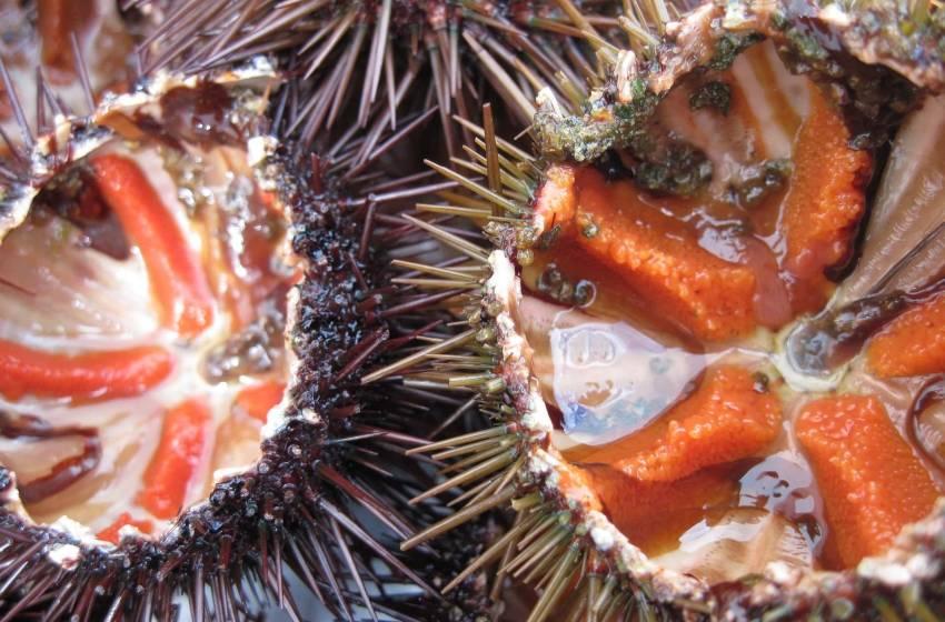 Ricci di mare: cosa sono, come pulirli e come mangiarli ( la ricetta )