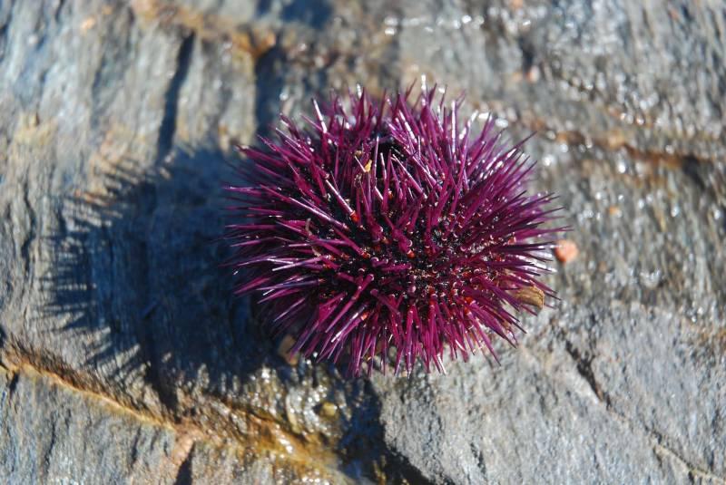 Riccio di mare rosso 800x535 - Ricci di mare: cosa sono, come pulirli e come mangiarli ( la ricetta )