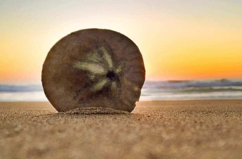 Dollari di sabbia: ricci di mare tropicali