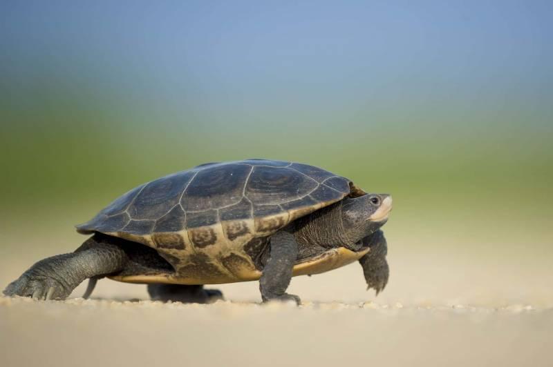 tartaruga di terra 800x532 - Come allevare correttamente le tartarughe di terra e di acqua
