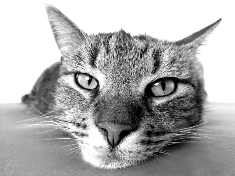 nomi gatti indiani 2 800x600 - Nomi per gatti indiani e di indiani d'America