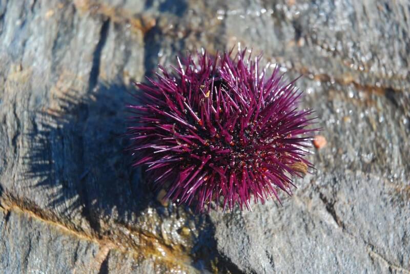 Puntura di riccio di mare rimedi naturali per curarla 2 800x535 - Puntura di riccio di mare: rimedi naturali per curarla