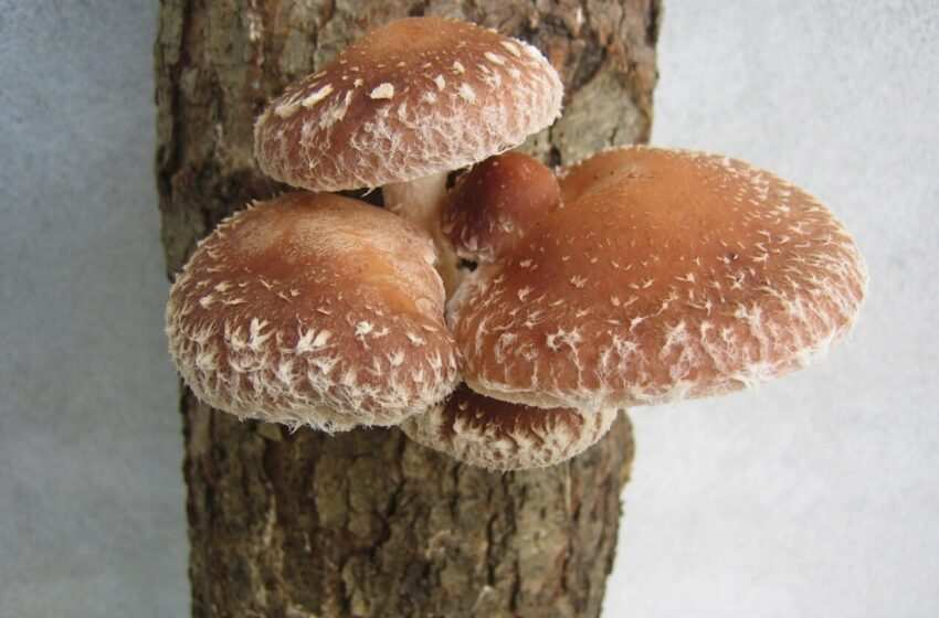 Funghi shiitake: benefici e come si coltivano