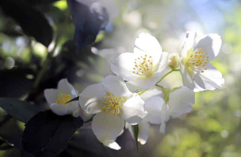 Gelsomino 800x522 - Significato e simbologia delle piante dal Cardo Mariano al Crisantemo